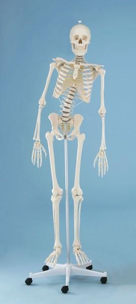 """Skelett """"Hugo"""" mit Stativ - mit beweglicher Wirbelsäule ca. 176 cm mit Stativ"""
