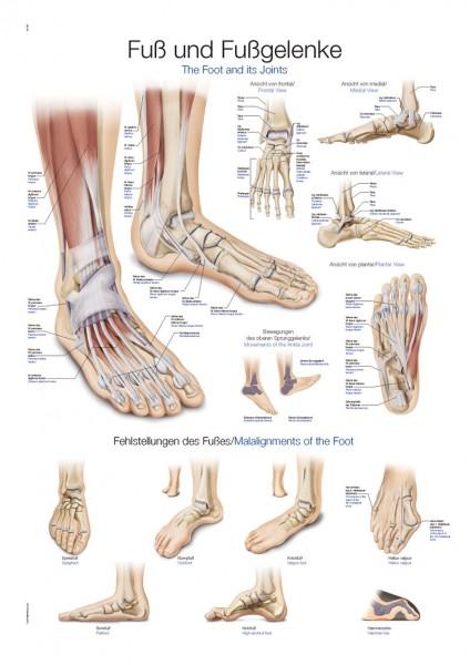 Lehrtafel Fuß und Fußgelenke